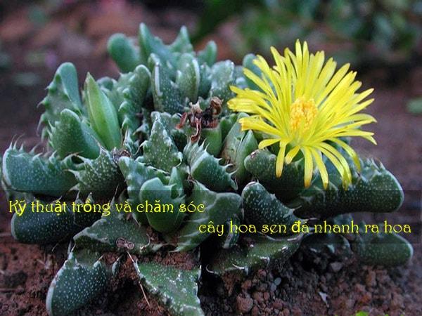 Kỹ thuật trồng và chăm sóc cây hoa sen đá nhanh ra hoa 1