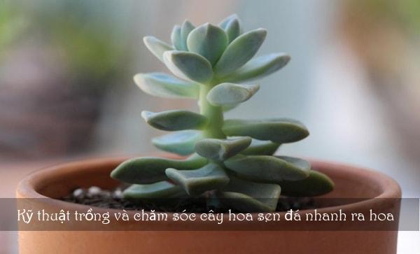 Kỹ thuật trồng và chăm sóc cây hoa sen đá nhanh ra hoa 4