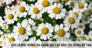 Quy trình trồng và chăm sóc cây hoa cúc đúng kỹ thuật