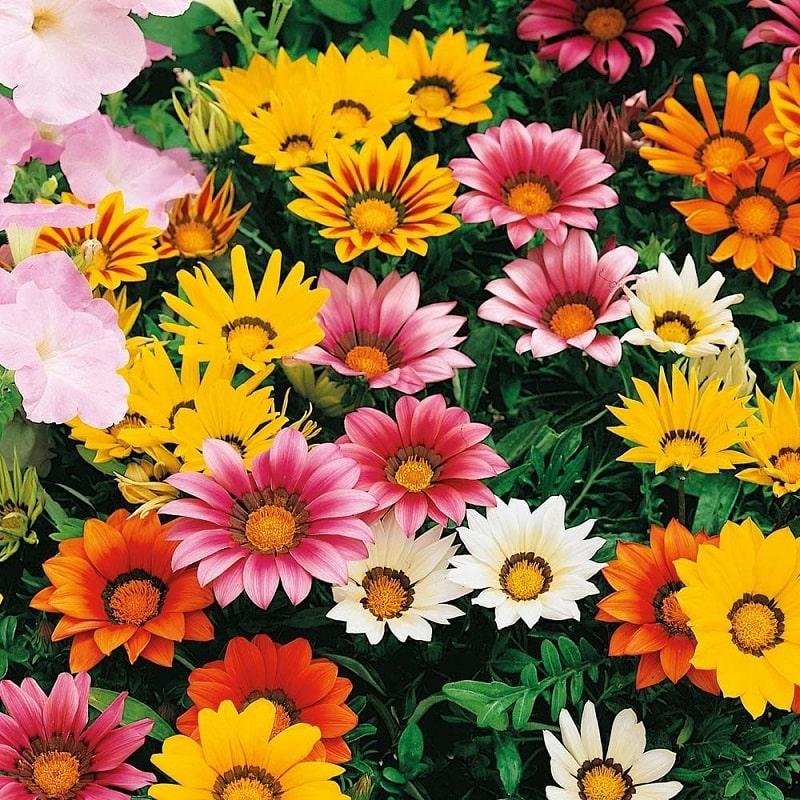 Hoa cúc mang nhiều màu sắc tuyệt đẹp