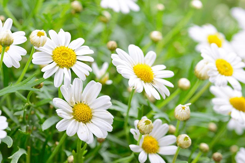 Hình ảnh hoa cúc trắng