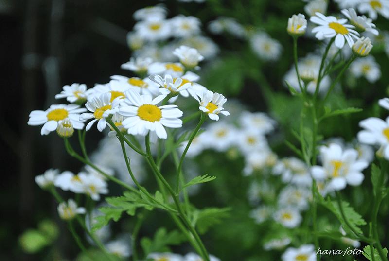 Cành cúc trắng có nhiều bông