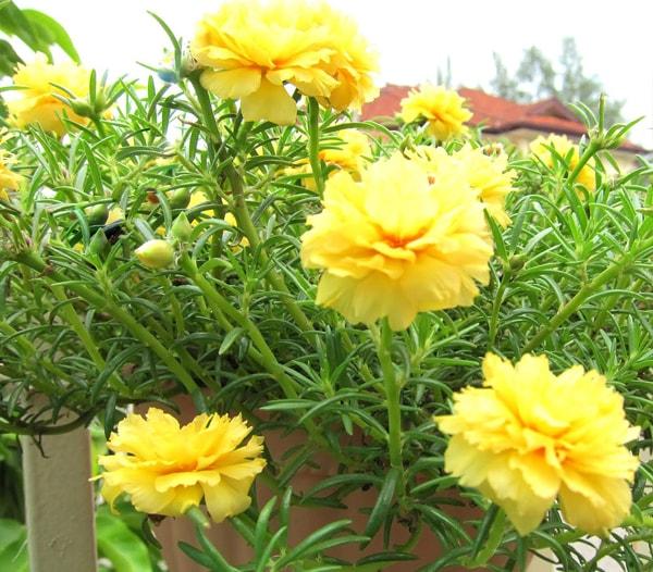 Hoa mười giờ được trồng đúng cách sẽ nở hoa rất đẹp