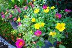 Các loại hoa mười giờ nở đẹp, dễ trồng nhất hiện nay