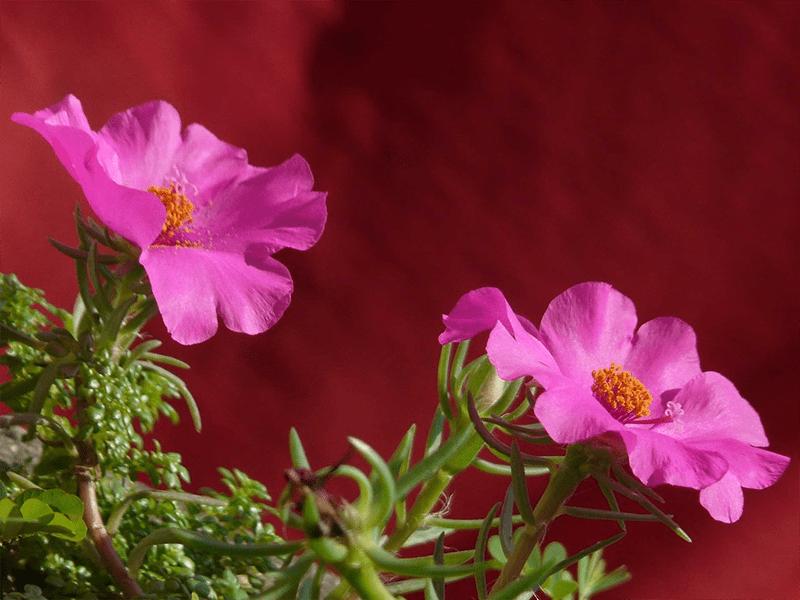 Hoa mười giờ Thái lan