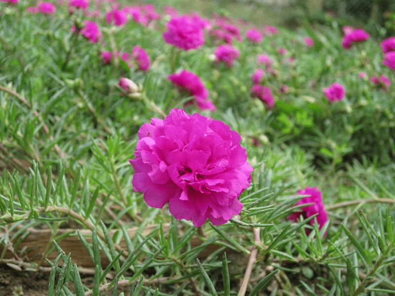 Hoa mười giờ là cây thân thảo, mọc sát đất