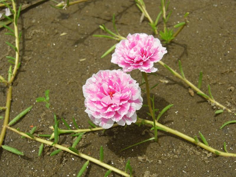Hoa mười giờ Nhật