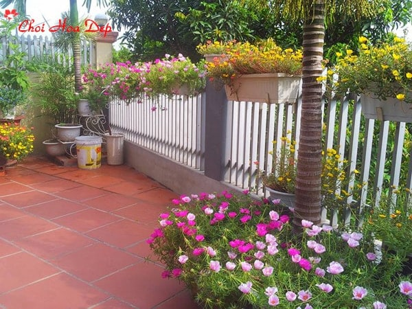 Trồng hoa mười giờ trong nhà cho không gian đầy sắc màu