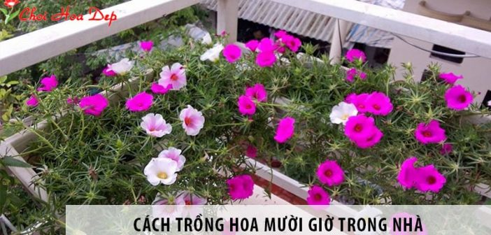 Cách trồng hoa mười giờ trong nhà cho không gian đầy sắc màu