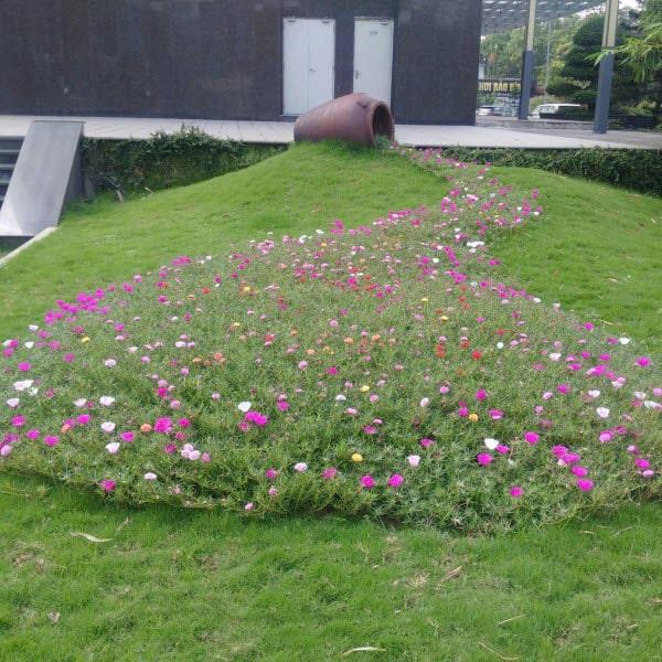 Trồng hoa mười giờ trong vườn