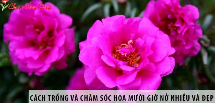 Cách trồng và chăm sóc hoa mười giờ nở nhiều và đẹp