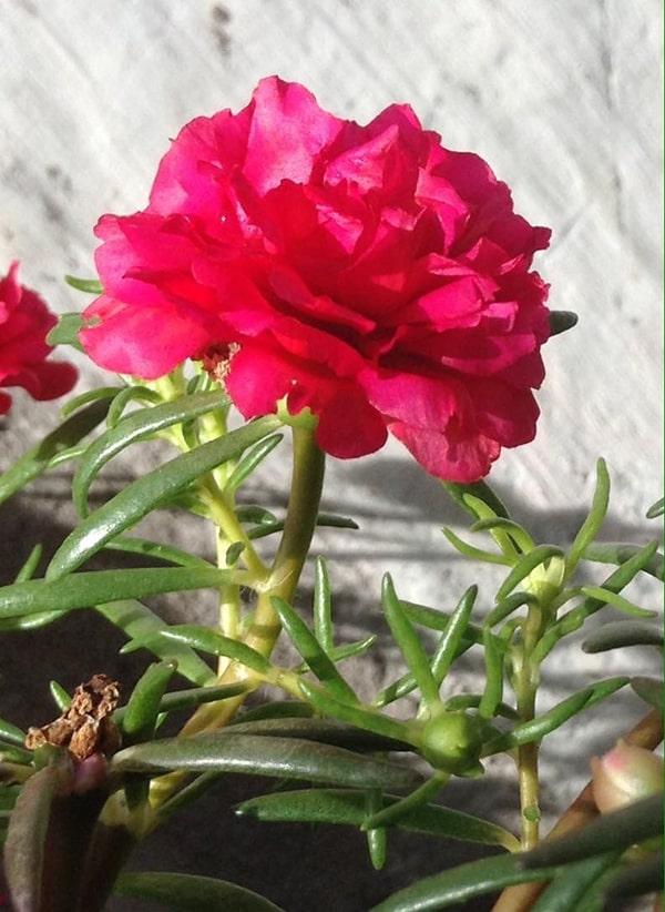 Hoa mười giờ được chăm sóc đúng cách sẽ cho ra hoa to và đẹp