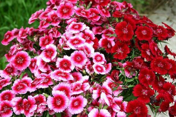 Hoa Cẩm Chướng có nhiều ý nghĩa
