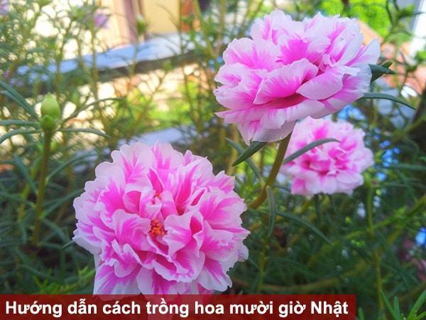 Hướng dẫn cách trồng hoa mười giờ Nhật dành cho người yêu hoa
