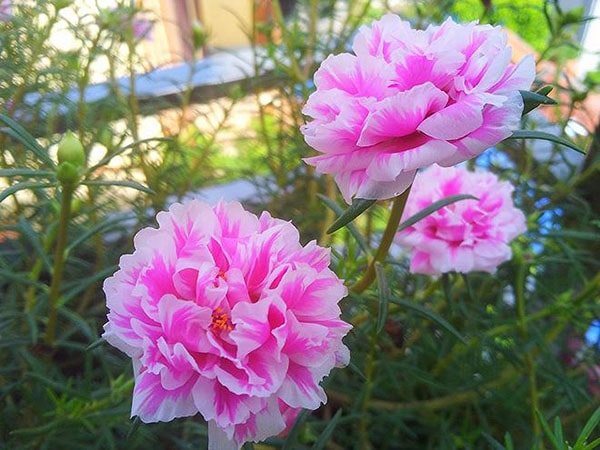 Hoa mười giờ Nhật Bản