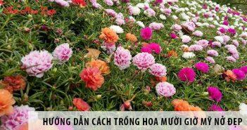 Hướng dẫn cách trồng hoa mười giờ Mỹ nở đẹp, sai hoa