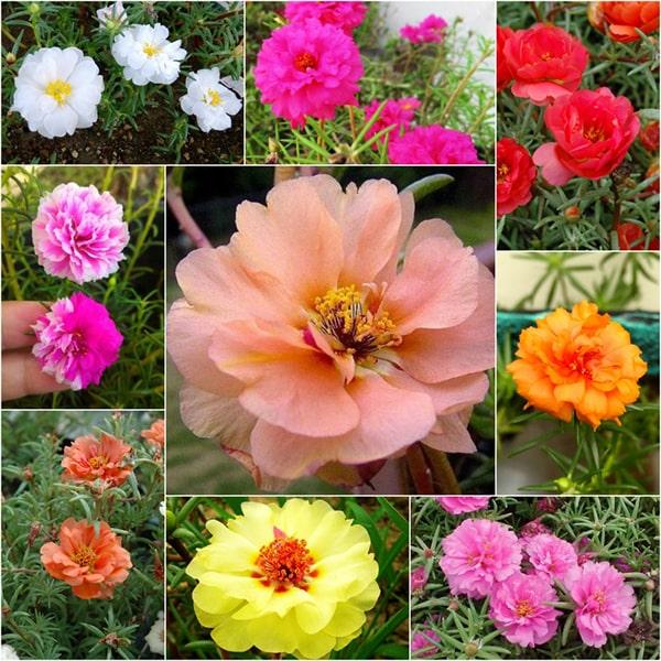 Hoa mười giờ khi nở mang theo nhiều niềm vui