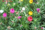 Các cách chăm sóc hoa mười giờ Thái Lan đúng