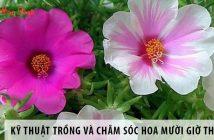 Kỹ thuật trồng và chăm sóc hoa mười giờ Thái Lan