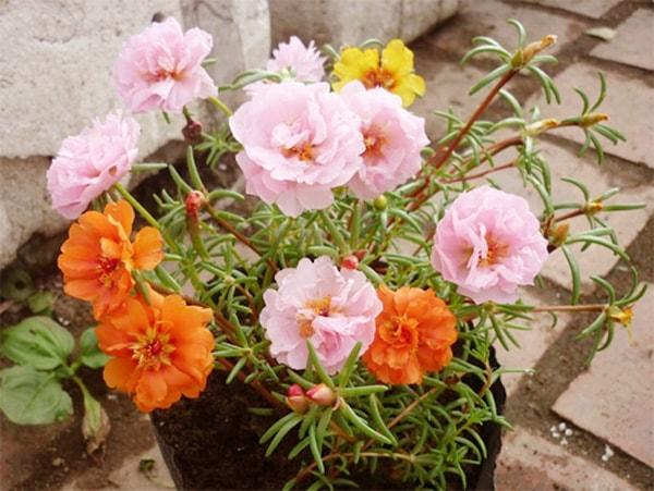 Hoa mười giờ là loại cây dễ trồng và có màu sắc đẹp mắt
