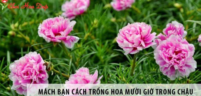 Mách bạn cách trồng hoa mười giờ trong chậu chuẩn nhất