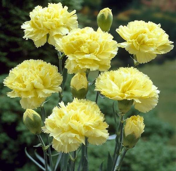 Hoa cẩm chướng vàng