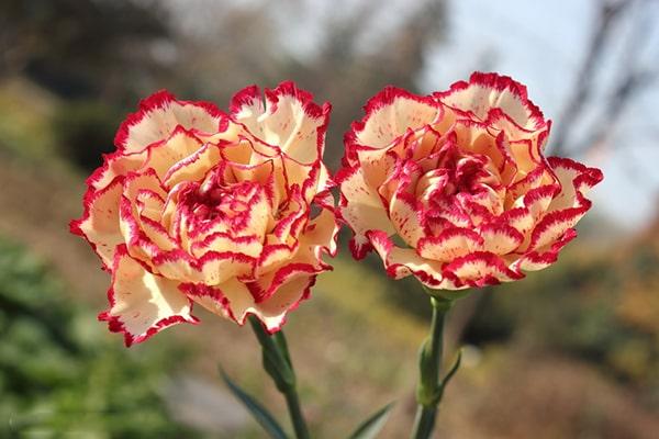 Hoa cẩm chướng có vằn