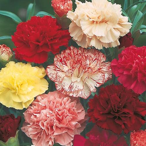 Vẻ đẹp dịu dàng, kiêu sa của các sắc hoa cẩm chướng