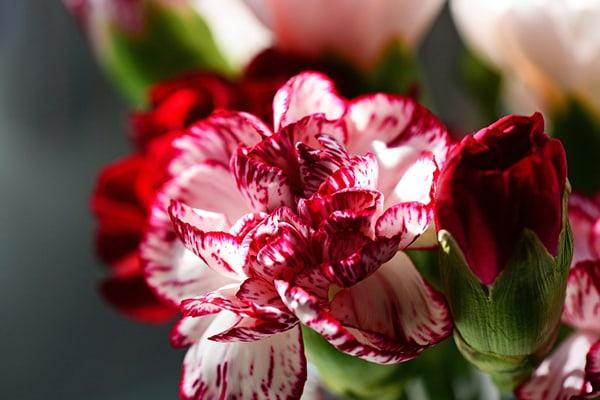 Cẩm chướng một trong những loài hoa phổ biến nhất tại Việt Nam