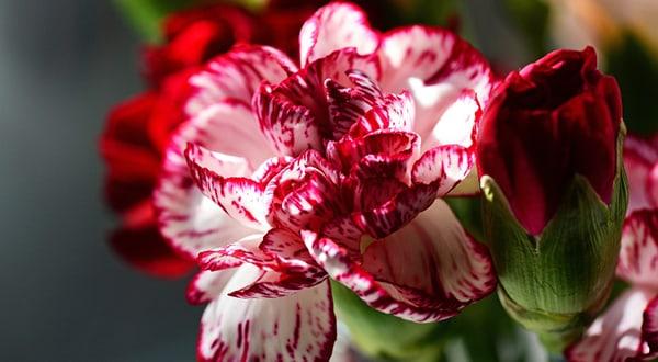 Ý nghĩa loài hoa cẩm chướng
