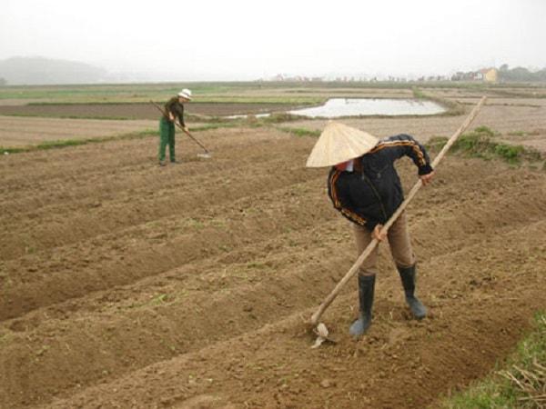 Chọn và làm đất trước khi trồng hoa loa kèn