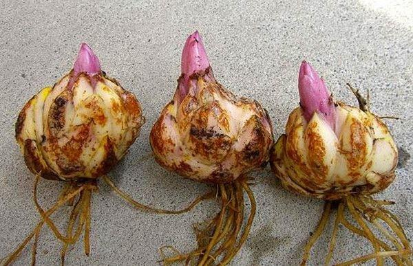 Thu hoạch và phân giống hoa loa kèn