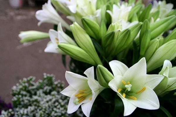 Những loại hoa loa kèn được ưa chuộng hiện nay