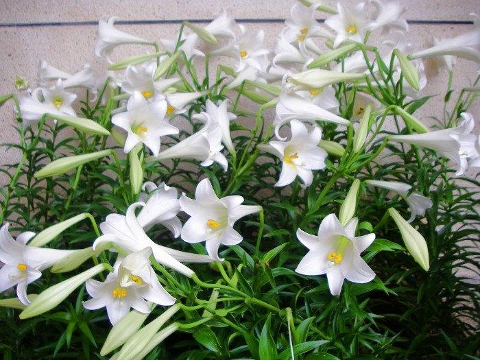 Hoa huệ tây trắng là bông hoa biểu tượng cho sức mạnh