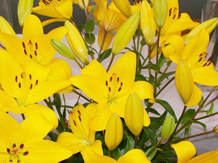 Hoa loa kèn vàng thể hiện lòng biết ơn và sự vui vẻ