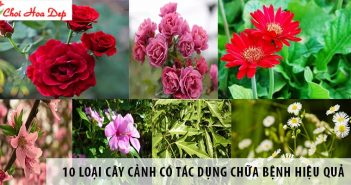 cay-canh-co-tac-dung-chua-benh-11-min