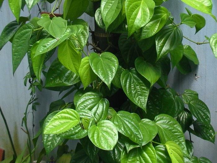 10 loại cây cảnh có tác dụng chữa bệnh hiệu quả 1