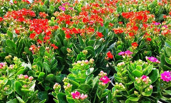 Đặc điểm của cây hoa sống đời