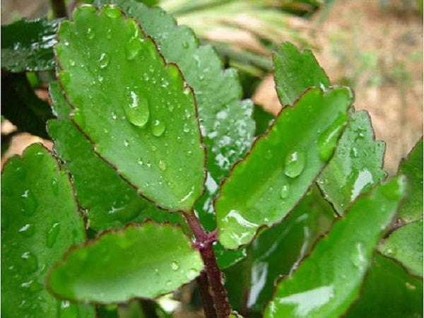 Công dụng và cách dùng cây hoa sống đời chữa bệnh