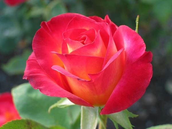 Tác dụng chữa bệnh của hoa hồng