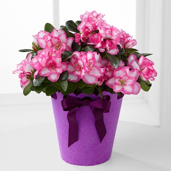 Hoa đỗ quyên thể hiện sự lo lắng trong tình yêu