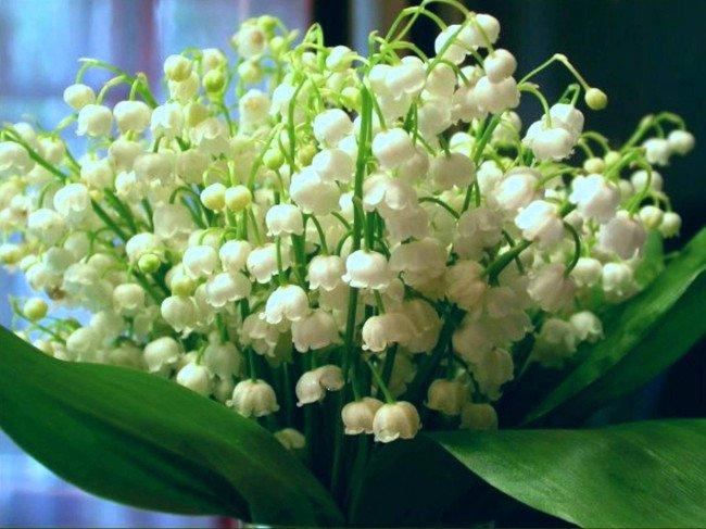 Hoa lan chuông tượng trưng cho người con gái dịu dàng