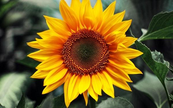 Người thực tế và thong minh có thể tặng hoa hướng dương