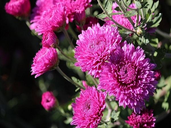 Hoa cúc có nhiều loại, mang nhiều ý nghĩa khác nhau
