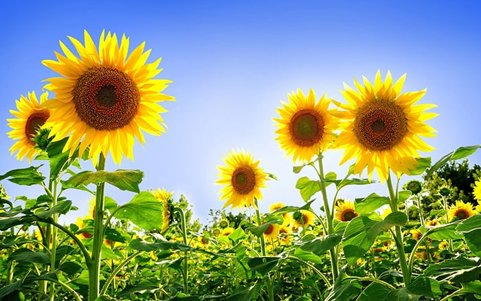 Hoa hướng dương biểu tượng cho tình bạn chân thành