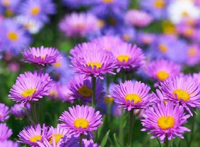 Hoa thạch thảo dùng tặng những người bạn mới quen