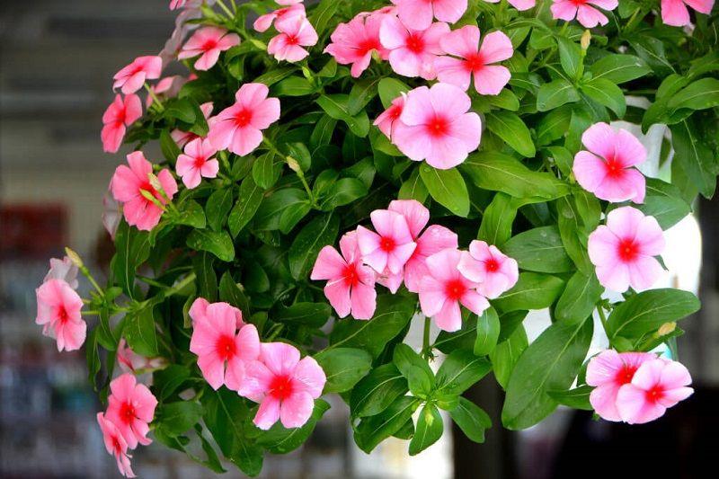 Hoa dừa cạn tượng trưng cho tình bạn