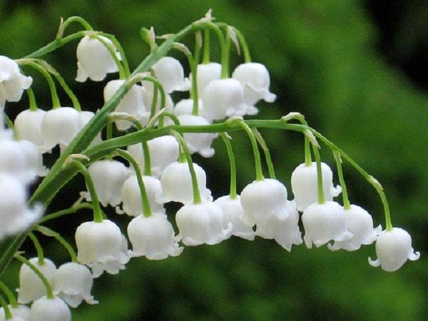 Hoa lan chuông thể hiện sự biết ơn, kính trọng