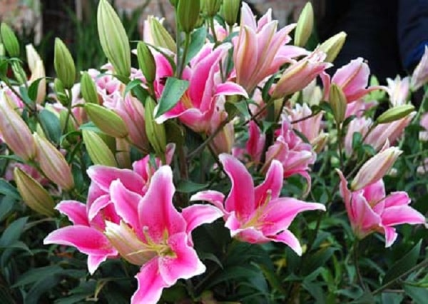 Hoa lyly mang ý nghĩa mẹ là người cao thượng
