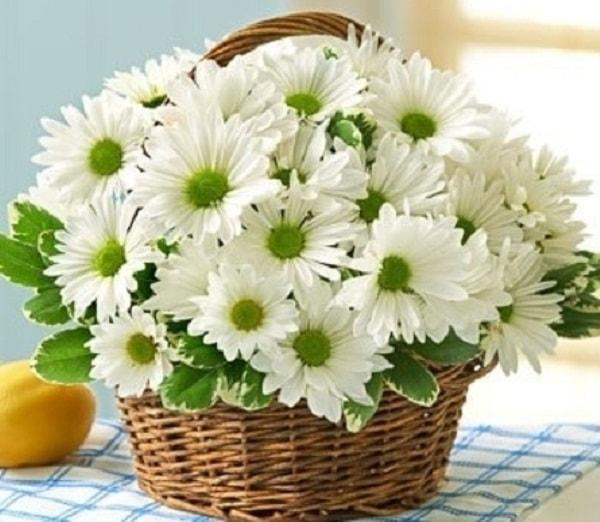 Hoa cúc đẹp giản dị như chính vẻ đẹp của mẹ vậy
